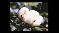 GM crops, India, BT cotton, cultivation, farming, health