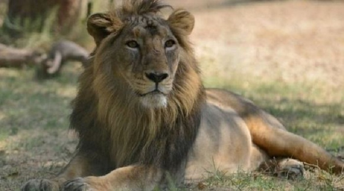 Asiatic Lion,Asiatic Lion Conservation Project, India, Population,Gir National Park, Gir Sanctuary, Pania Sanctuary, Mitiyala Sanctuary
