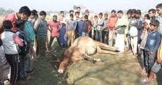 Bull, Ox, Diwali, 2016, Bangladesh, Kal Bhairo Mandir, Brahmanbaria district , Hindus, Hinduism, Temple,