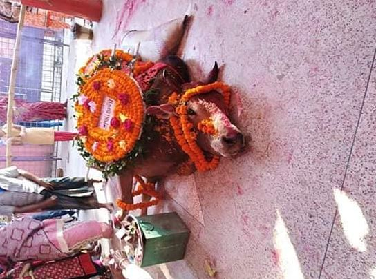 Bull, Ox, Diwali, 2016, Bangladesh, Kal Bhairo Mandir, Brahmanbaria district , Hindus, Hinduism, Temple,
