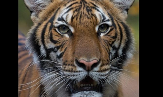 Tiger, census, India, population, Guinness Record